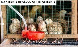 Kandang Burung Puyuh Dengan Suhu Sedang