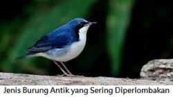 Jenis Burung Antik yang Sering Diperlombakan